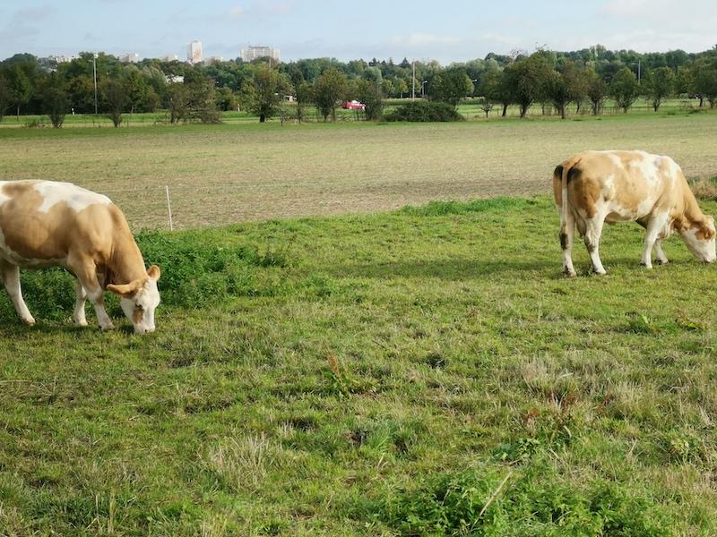 Zwei Kühe nahe beieinander